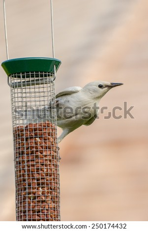 Albino common starling (Sturnus vulgaris) on a bird feeder in a British urban garden. Vertical format with copy space. - stock photo