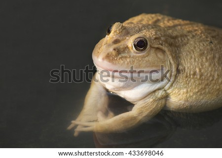 albino Frog, also known as the Common Water Frog , sits on wood. Edible frogs are hybrids of pool frogs and marsh frogs. - stock photo