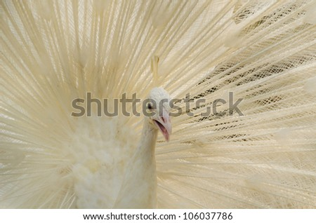Albino peafowl is spreading it's tail-feathers to the female - stock photo