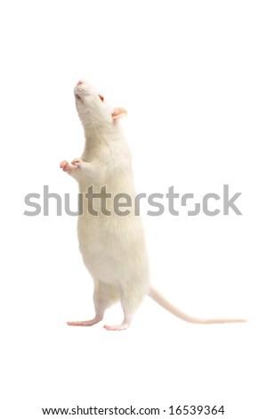 albino rat  isolated on white background - stock photo