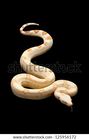 Albino square tail Columbian red-tailed boa (Boa constrictor constrictor) isolated on black background. - stock photo