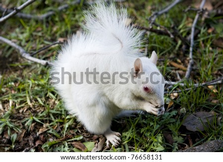 Albino squirrel eating a nut - stock photo