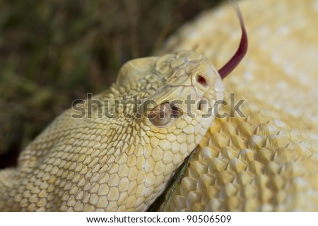 Albino Western Diamondback Rattlesnake (Crotalus atrox) - stock photo