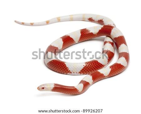Albinos milk snake or milksnake, Lampropeltis triangulum nelsoni, in front of white background - stock photo