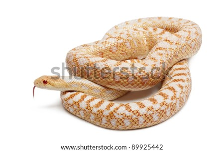 Albinos Pacific gopher snake or coast gopher snake, pituophis catenifer annectans applegate, in front of white background - stock photo