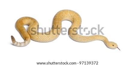 albinos western diamondback rattlesnake - Crotalus atrox, poisonous, white background - stock photo