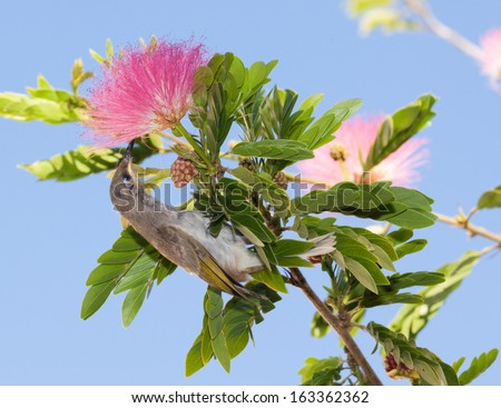 Albizia julibrissin (Persian silk tree, pink silk tree) is a species of tree in the family Fabaceae, native to southwestern and eastern Asia also called mimosa in usa - stock photo