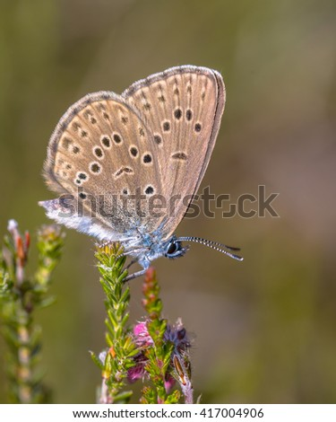Alcon large blue (Phengaris alcon) butterfly  resting in grassy vegetation. It can be seen flying in mid to late summer. Like some other species of Lycaenidae, its larva (caterpillar) depends on ants. - stock photo