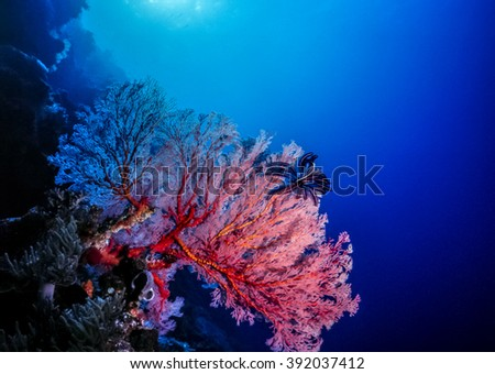 Alcyonacea is an order of sessile colonial cnidarians found throughout the oceans of the world - stock photo