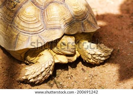 aldabra giant tortoise  - stock photo