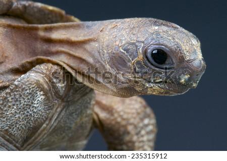 Aldabra giant tortoise / Aldabrachelys gigantea - stock photo