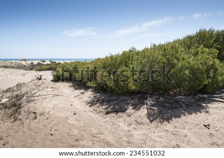 Aleppo Pine, Pinus halepensis, growing in dunes in Carabassi beach, Elche, Spain  - stock photo