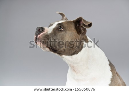 Alert american bull terrier portrait. Brown with white spots. Studio shot against grey. - stock photo