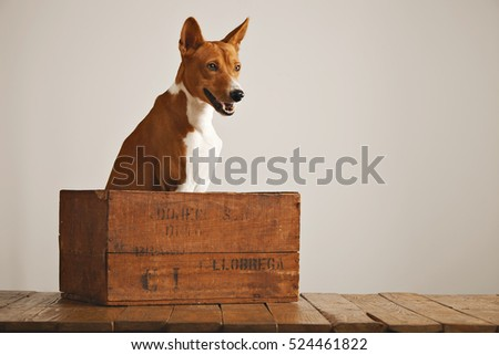 Alert basenji dog sitting in a brown wooden crate listening attentively