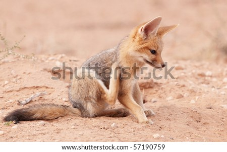 Alert Black-backed baby Jackal (Canis mesomelas) in South Africa - stock photo