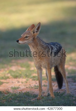 Alert Black-backed Jackal (Canis mesomelas) in South Africa