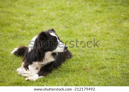 Alert Border Collie waiting for a command
