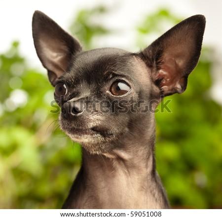 alert chihuahua - stock photo