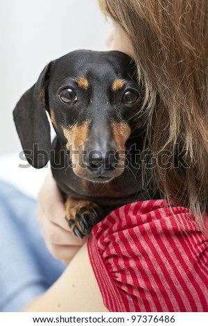 Alert Dachshund dog breed looking over shoulder - stock photo