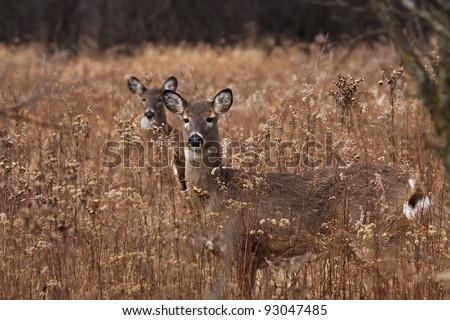 alert deer/doe poses in the middle of a prairie on a cool autumn day, barren trees and fallen leaves make a natural background. second doe in background hides behind first deer. - stock photo