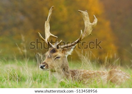 Alert Fallow deer, Dama dama, selective focus and diffused background resting during the Autumn rutting season, Gloucestershire, United Kingdom