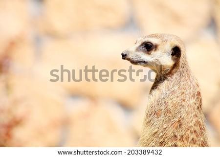 Alert meerkat (Suricata suricatta) standing on guard animal - stock photo