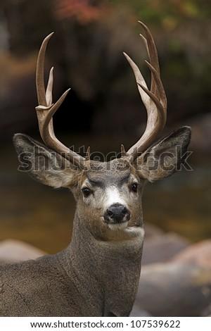 Alert Mule Deer Buck, portrait, with rocky stream in background - stock photo