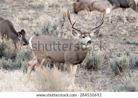 Alert mule deer buck watching for competing mule deer during rut; does in background - stock photo