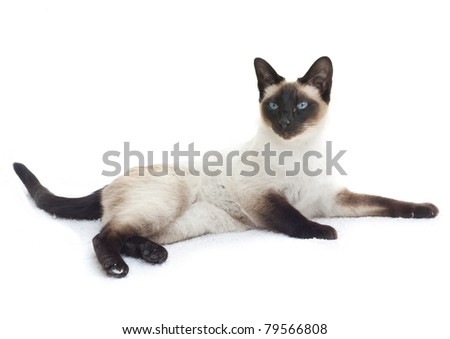 Alert Siamese cat (Felis catus) lying down isolated on white.