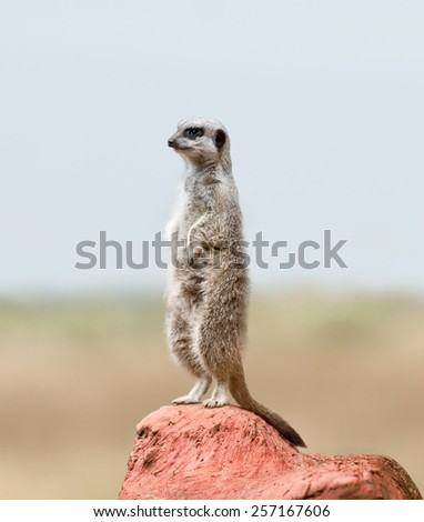 Alert Suricate or Meerkat  - stock photo