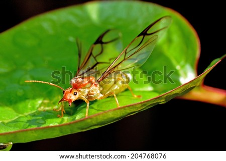 Alert Weaver ant queen in a defensive pose, on a leaf, in the morning sunlight. - stock photo