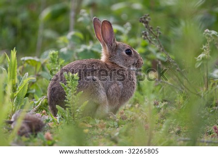 Alert Wild Rabbit in the English countryside - stock photo