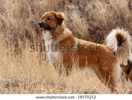 Alert working dog in field - stock photo