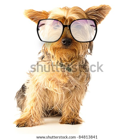 alerted Yorkshire with black glasses over white background - stock photo