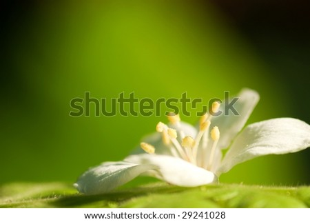 Aleurites Montana flower fall on the leaf mix with green background color - stock photo