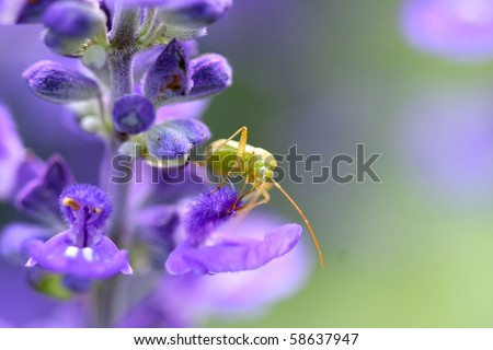 Alfalfa Plant Bug - Adelphocoris lineolatus - stock photo