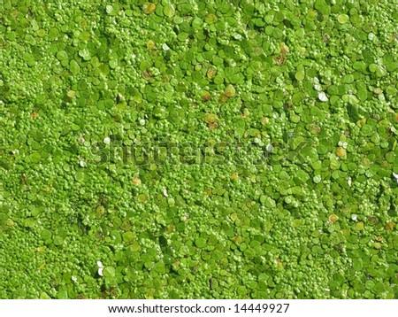 Algae Closeup - stock photo