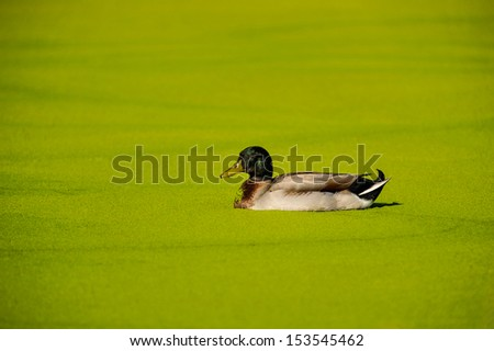 Algae covers a pond and part of a duck - stock photo