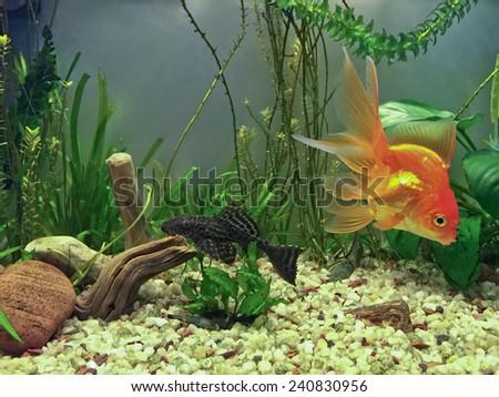 Algae Sucker Fish, Hypostomus Plecostomus, and hardy Gold Fish, Fantail - stock photo