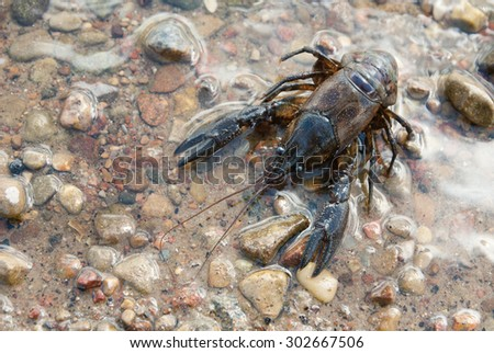 Alive crayfish on water background. - stock photo