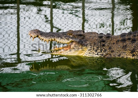 alive crocodile resting in the pond from Thailand farm - stock photo