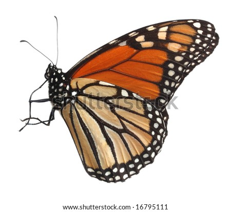 Alive monarch butterfly isolated on white with clipping path