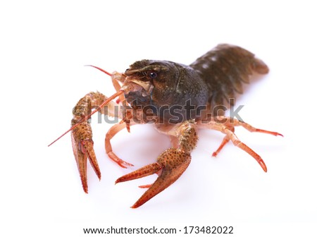 Alive red crayfish on a white background, selective focus on eyes - stock photo
