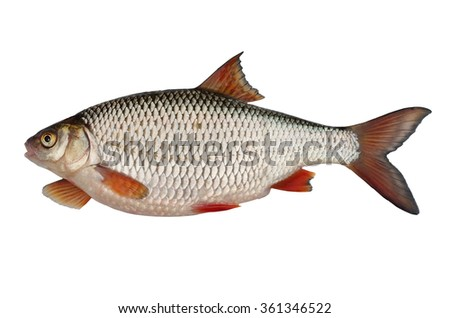 alive silver roach on white background - stock photo
