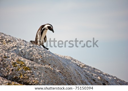 All Downhill - African Penguin, Cape Town - stock photo