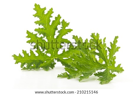 All natural citronella plant mosquito repellant leaves on white - stock photo