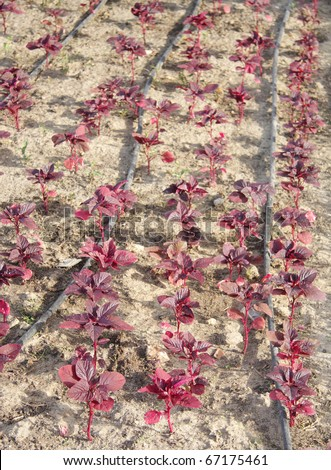 All red leaf, Chinese spinach with drip watering system at shallow DOF - stock photo