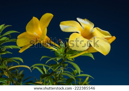 Allamanda flowers with blue sky background - stock photo