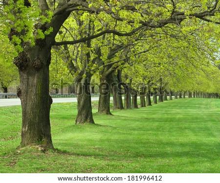 Allee of maple trees - stock photo