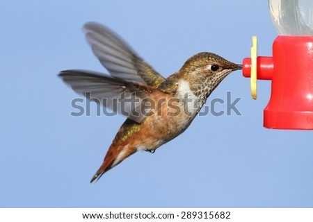 Allens Hummingbird (Selasphorus sasin) in flight at a feeder with a blue background - stock photo
